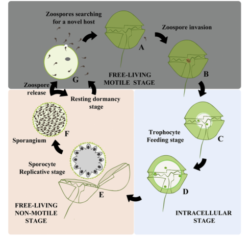 Alacid et al. 2015: Life Cycle of the parasitoid, Parasitoid Parvilucifera sinerae