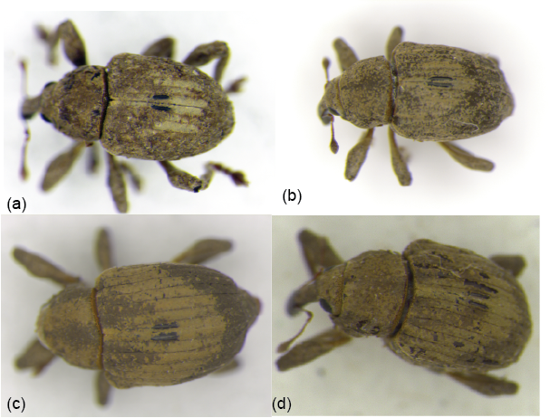 Demonstration of hybridization between the two weevils: Neochetina bruchi and N. eichhorniae
