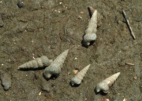 California Horn Snails, Photo: http://nathistoc.bio.uci.edu/Molluscs/Cerithidea.htm