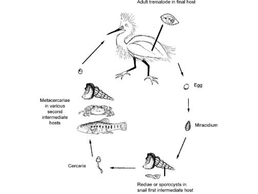 """Typical lifecycle of parasitic trematodes that use the California Horn Snail as their first intermediate host. Figure from: Torchin et al. 2005, Biological Invasions """"Differential parasitism of native and introduced snails: replacement""""of a parasite fauna"""